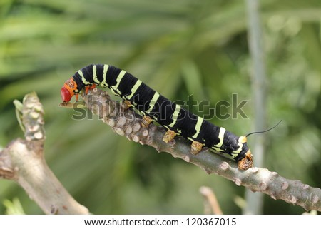 Tetrio Sphinx Caterpillar native to Antigua Barbuda in the Caribbean Lesser Antilles West Indies eating the last leaf on a frangipani tree. - stock photo