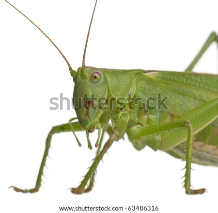 Tettigonia viridissima, great green bush-cricket, in front of white background