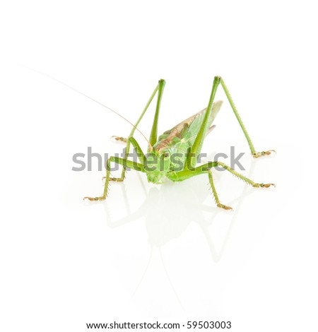 Tettigonia viridissima isolated on white - stock photo