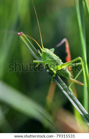 Tettigonia viridissima, the Great Green Bush-Cricket - stock photo