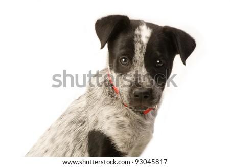 Texas Blue Heeler Pup 11 Weeks Old. - stock photo