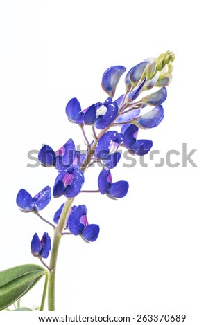 Texas Bluebonnet (Lupinus texensis) in full bloom isolated on white background with copy space..  Early Spring Plant. - stock photo