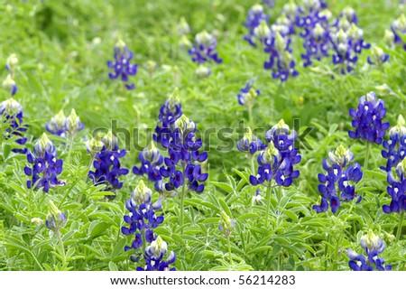 Texas Bluebonnets Horizontal - stock photo
