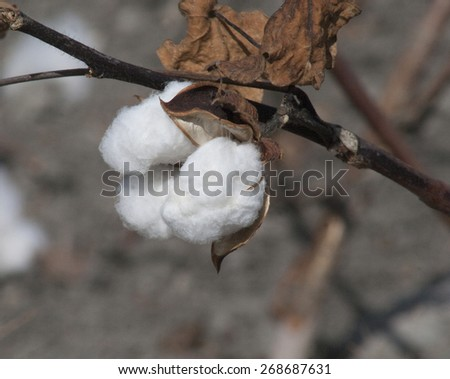 Texas Cotton Opening