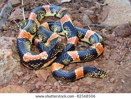 Texas long-nosed snake, Rhinocheilus lecontei  tessellatus - stock photo