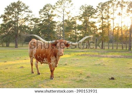 Texas Longhorn at Sunset - stock photo