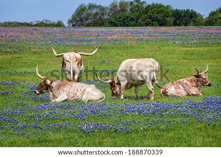Texas longhorn cattle grazing in bluebonnet wildflower pasture - stock photo