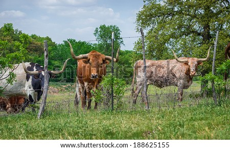 Texas longhorn cattle grazing on pasture  - stock photo