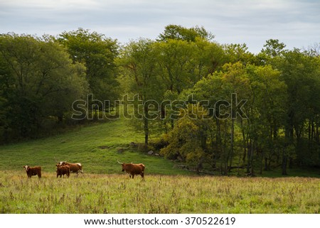 Texas Longhorn Cattle herd on a farm in the Midwest. - stock photo