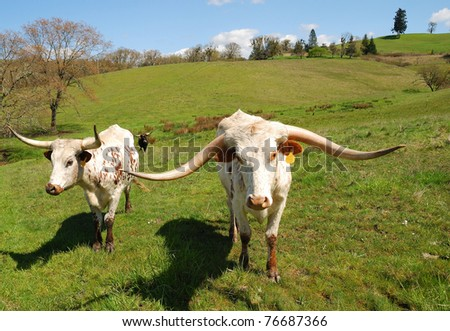 Texas Longhorn cattle in a field of green in the Umpqua Valley near Roseburg Oregon - stock photo