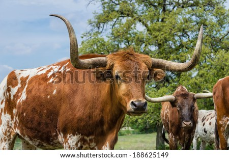 Texas longhorn cattle on pasture, closeup - stock photo