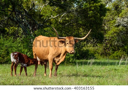 Texas Longhorn Cow with Calf - stock photo