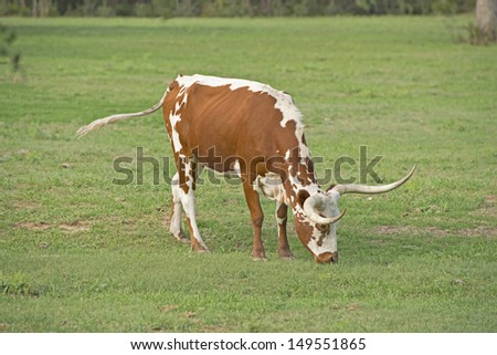 Texas Longhorn grazing in a pasture - stock photo
