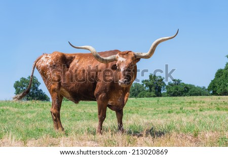 Texas longhorn grazing on green pasture. Blue sky background with copy space. - stock photo