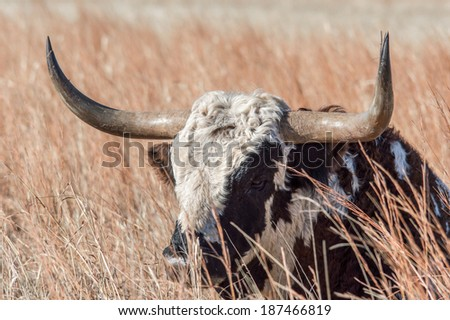 Texas longhorn relaxing in tall brown/yellow grass - stock photo