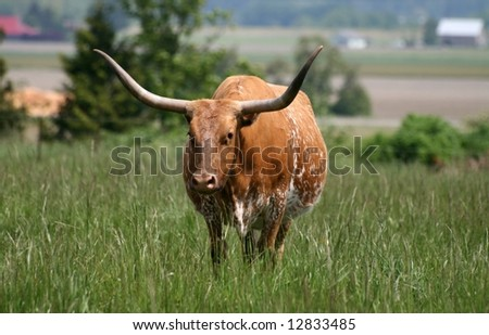 Texas Longhorn standing in green field - stock photo