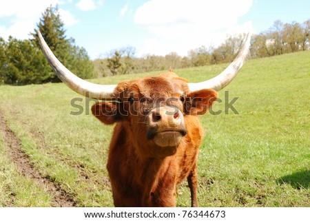 Texas Longhorn steers in a spring field in the Umpqua Valley near Roseburg Oregon - stock photo
