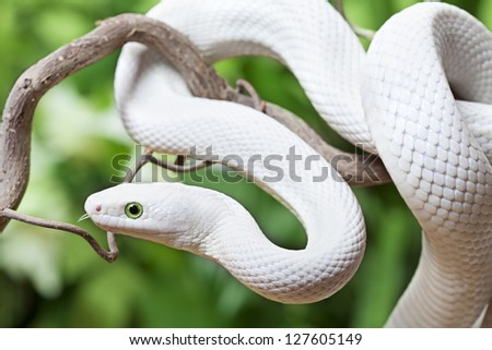 Texas rat snake creeping on a wooden branch - stock photo