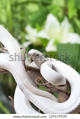 Texas rat snake rested on a wooden branch outdoor - stock photo
