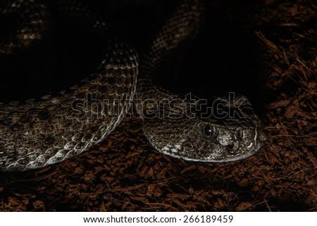 Texas rattle snake cotalus Atrox lying in ambush - stock photo