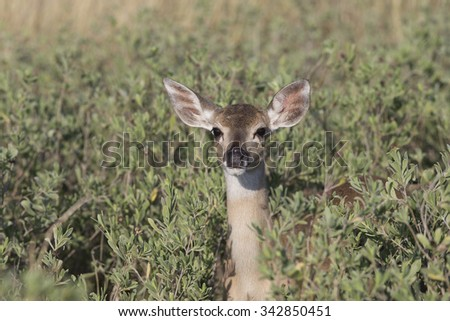 Texas White-tail Deer Fawn - stock photo