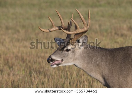 Texas White-tailed Buck - stock photo