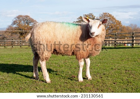 Texel Cross Ram - stock photo