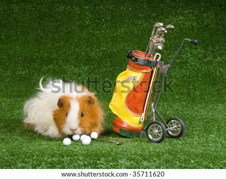 Texel guinea pig with mini golf bag on green lawn - stock photo