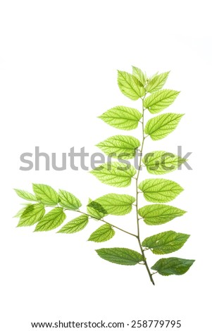 Texture and detail of translucent leaves#1 - stock photo