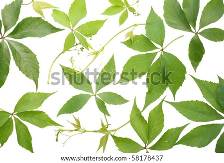 Texture background  of  wild grapes leaves. Isolated on white. - stock photo