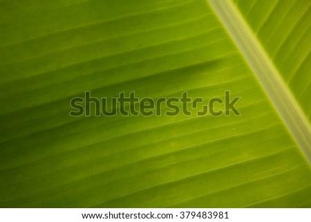 Texture Banana leaf - stock photo