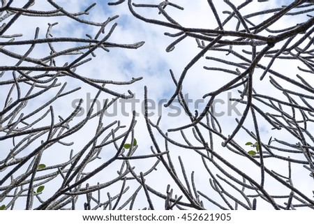 texture branch of frangipani tree on blue sky background