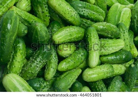 Texture cucumbers, fresh little green cucumbers in large numbers