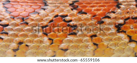 texture is a Corn snake (Elaphe guttata) - stock photo