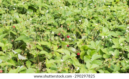 Texture - meadow with a lot of wild strawberry