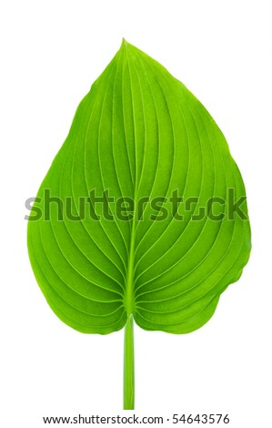 Texture of a green leaf isolated on a white background - stock photo