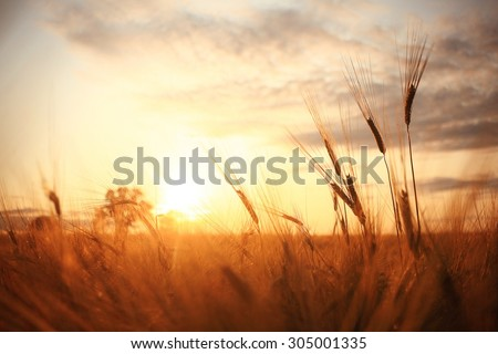 texture of barley ears in the field - stock photo