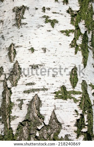 Texture of birch bark, background - stock photo