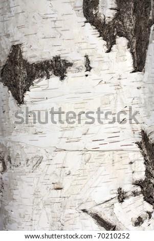 Texture of birch bark, background - stock photo