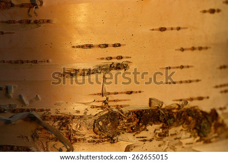 texture of birch tree at sunset - stock photo