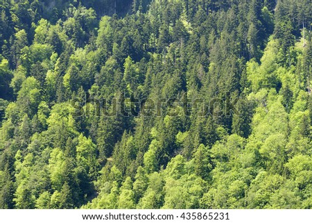 texture of bright green foliage in springtime fir woods in Swiss mountains, shot in Uri, Switzerland