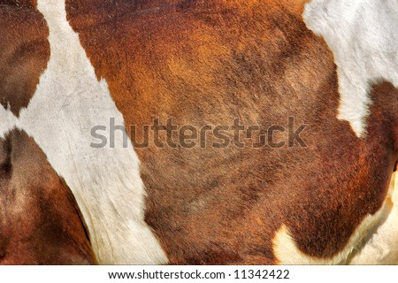 Texture of cow's skin in sunset light. Shot in Ukraine. - stock photo