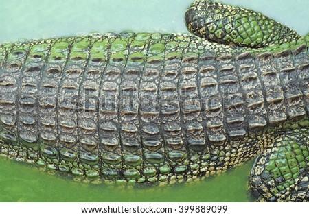 texture of crocodile alligator skin - stock photo