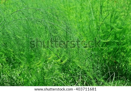 texture of dill, Anethum graveolens, edible plant, herb, seasoning, celery, soil, vegetable bed, vegetable plot, agriculture, edible plant, backyard garden, home-grown vegetable, organic farm - stock photo