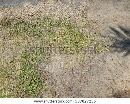 Texture of dry green grass used for background