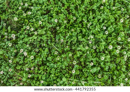 Texture of grass with white flowers clover. Trefoil surrounded grass, top view  close-up - stock photo
