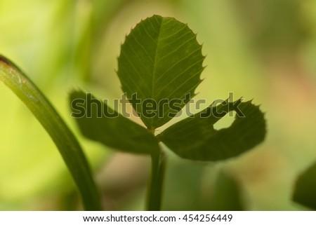 texture of green grass, clover, buttercup, bud, seeds, macro - stock photo