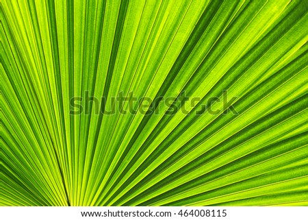 Texture of Green palm Leaf from Chaingmai Thailand.