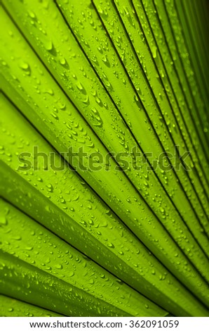 Texture of Green palm Leaf with water drop