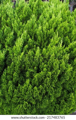 Texture of lime green color pine leaves